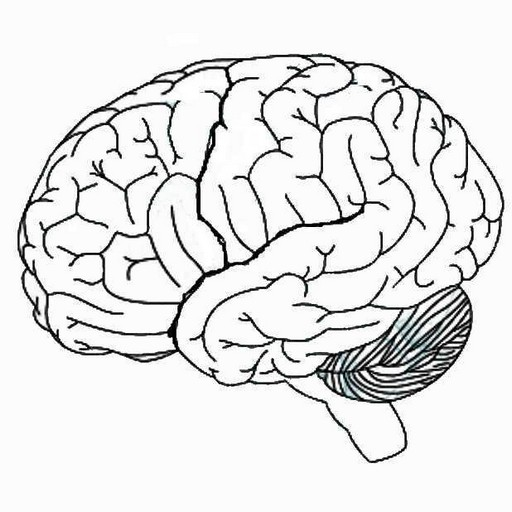 Human Brain Diagram Blank